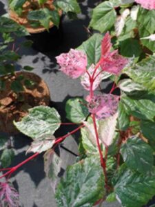 Acer conspicuum 'Red Flamingo' / Rotrindiger Strauchahorn 'Red Flamingo'