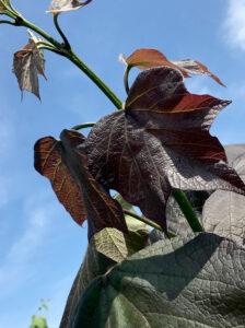 Catalpa erubescens 'Purpurea' / Blut-Trompetenbaum