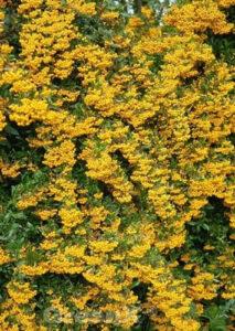 Pyracantha 'Soleil d'Or' / Hecken-Feuerdorn 'Soleil d'Or' bringen Farbe in eine Mischhecke
