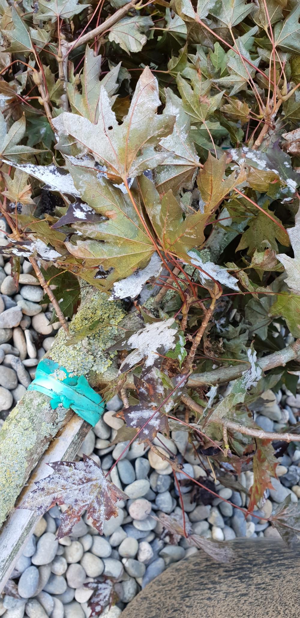 Mehltau fragen bilder pflanz und pflegeanleitungen for Gartenpflanzen versand